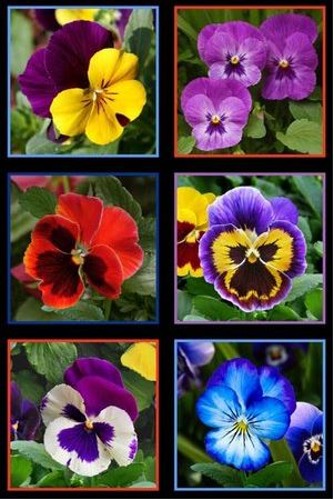 Panel Lovely Pansies 474